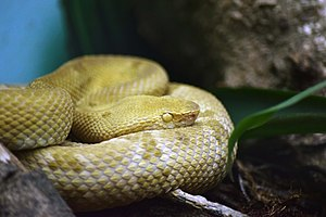 Bothrops insularis Instituto Butantã (2).jpg