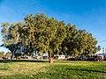 Brachychiton populneus Herbert St Boulia Queensland P1060950.jpg