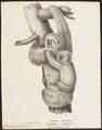 Bradypus tridactylus - 1700-1880 - Print - Iconographia Zoologica - Special Collections University of Amsterdam - UBA01 IZ21000155.tif