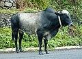 Brahmin bull (48671330857).jpg