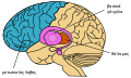 Brain areas implicated in Tourette syndrom-el.svg