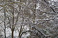Branches d'arbre chargées de neige.jpg