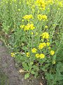 Brassica rapa subsp. oleifera, bladkool (9).jpg