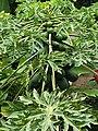 Brassicales - Carica papaya - 12.jpg