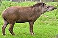 Brazillian Tapir (8679983573).jpg