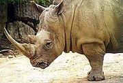 Wide lips distinguish the white rhino