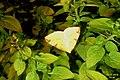 Brimstone moth (BG - a personal favourite) (23082457662).jpg