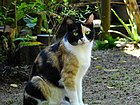 British shorthair with calico coat (1).jpg