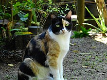 Calico cat (Felis silvestris catus)
