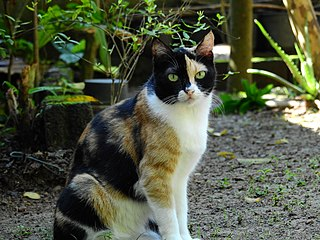 Calico cat domestic cats with a spotted or partly-colored coat that is predominantly white