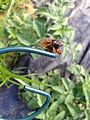 Brood V 17 year Magicicada periodical cicadas (28292725866).jpg