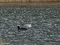 Brown-headed Gull (Larus brunnicephalus) (32127157125).jpg