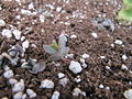 Bryophyllum (6313670112).jpg