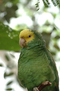 Buberel green parrot