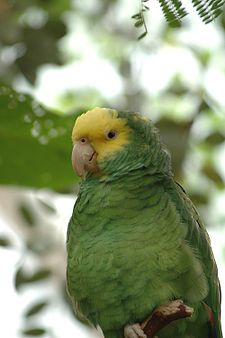 Gulhuvad amazon Amazona o. belizensis