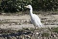 Bubulcus ibis - Western Cattle Egret, Mersin 2017-01-22 01-1.jpg
