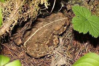 Western toad - Anaxyrus boreas boreas