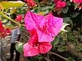 Bugambilias nilgiris ooty, india.jpg