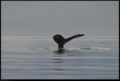 Buiobuione british columbia humpback whale 3.tif