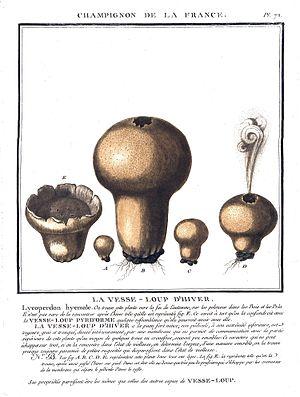 Jean Baptiste François Pierre Bulliard - Plate 72 from Herbier de la France