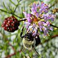 Bumble Bee & Feay's Prairie Clover (13534635124).jpg