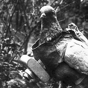 Aerial reconnaissance - Pigeon with German miniature camera, during the First World War.