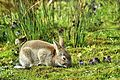 Bunny - Lackford Lakes (26741824592).jpg