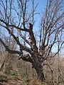 Bur oak, North American white oak.JPG