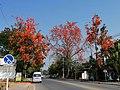 Butea monosperma langs Atsadathon Road in Chiang Mai.jpg
