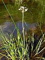 Butomus umbellatus1 (1).jpg