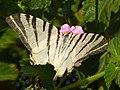 Butterfly 1410384 Iphiclides podalirius Nevit.jpg