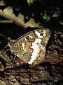 Butterfly 238.JPG