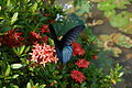 Butterfly on Ixora casei.jpg