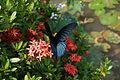 Butterfly on Ixora casei.jpg
