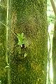 Buxus colchica kz9.jpg