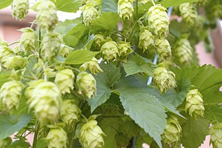 Hop production in the United States
