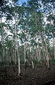 CSIRO ScienceImage 2248 Waria Waria Trees.jpg