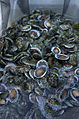 CSIRO ScienceImage 7504 Abalone farm.jpg