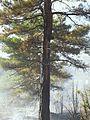 Caída de rayo en tronco provoca incendio forestal.jpg