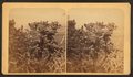 Cactus near Raton, from Robert N. Dennis collection of stereoscopic views.png