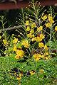 Caesalpinia pulcherrima Flava2.JPG