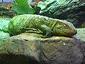 Caiman-lizard-1.jpg