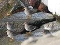 Calidris maritima (40617570141).jpg