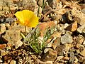 California Poppy - Flickr - treegrow (4).jpg