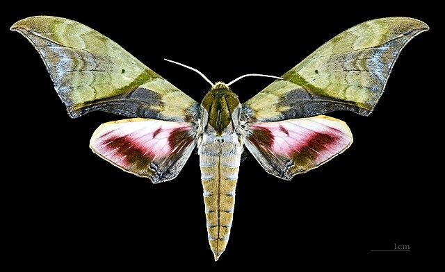 Sưu tập Bộ cánh vẩy 2 - Page 5 640px-Callambulyx_rubricosa_rubricosa_MHNT_CUT_2010_0_75_Chang_Mai_Thailand_male_dorsal
