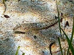 Callionymus risso Cres 2.JPG