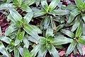 Callisia fragrans 4zz.jpg