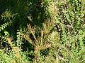 Callistemon pinifolius Montjuic.jpg