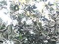 Calophyllum inophyllum (13).jpg