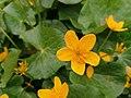 Caltha palustris 126069057.jpg